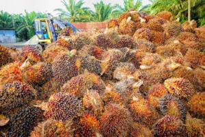 fruto aceite palma seguridad alimentaria