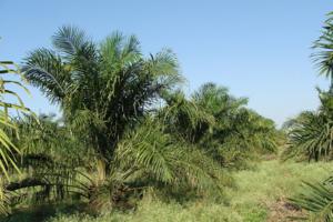 arbol palma seguridad alimentaria