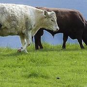 vacas seguridad alimentaria